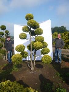 Neue Gartenpflanzen für einen Japangarten – Gartenbonsai , Japanahorn, Hecken-Bambus