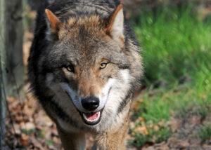 DSC_1295kopf-300x214 Neuer, bundesweit arbeitender Wolfsschutzverein