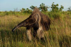 """""""Giganten"""" statt """"Big Five"""" – Spektakuläre Tierwelt im Dschungel von Guyana – Soft-Adventure-Touren für Touristen"""