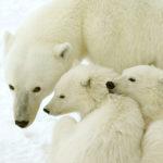 Pyjamaparty mit Eisbären
