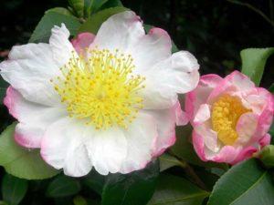 Camellia-Sasanqua-Foto-Consorzio-Fiori-Tipici-del-Lago-Maggiore-2-300x225 Kamelien am Lago Maggiore - die Winterkönigin wird 15
