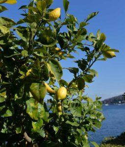 Zitronenstrauch©Roberto-Maggioni-255x300 Zitronenhaine am Lago Maggiore